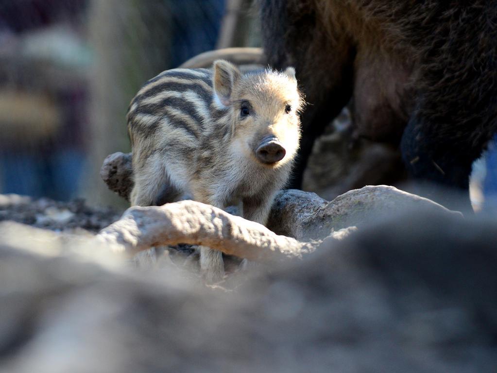 FOTO: Hans-Joachim Winckler DATUM: 02.03.2021..MOTIV: Die acht Frischlinge, dei am 16. Februar zur Welt kamen, machen sehr zur Freude der Besucher das Wildschweingehege im Stadtwald unsicher