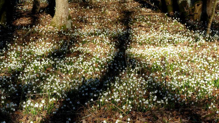 Sie sind jedes Jahr ein eindeutiges Indiz dafür, dass der Frühling vor der Tür steht: die Märzenbecher. Hier in einem Wald bei Alesheim aufgenommen.