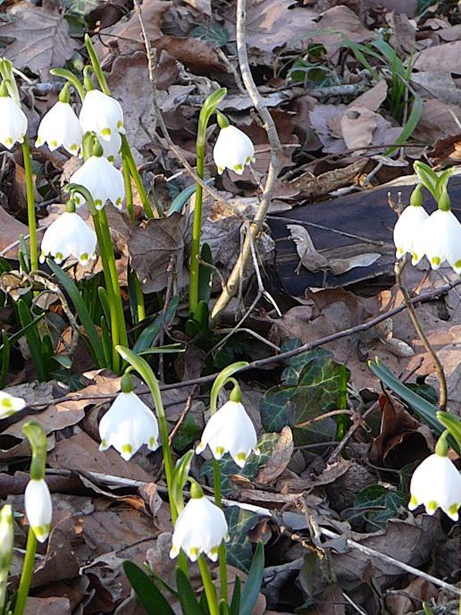 Sie sind jedes Jahr ein eindeutiges Indiz dafür, dass der Frühling vor der Tür steht: die Märzenbecher. Hier in der Nähe von Heidenheimaufgenommen.