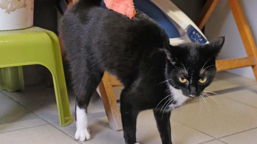 Eine weitere schwarz-weiße Katze etwa im gleichen Alter lief am 20. Februar in Lauterhofen in der Nordgaustraße zu. Auch sie ist sehr zutraulich. Als diese Katze sich am 23. Februar noch immer dort aufhielt, wurde sie schließlich ins Tierheim Neumarkt gebracht. Nachdem die  Katze keinerlei Kennzeichnung habt, also weder eine Tätowierung noch einen implantierten Chip, kann sie ihrem Besitzer derzeit nicht zugeordnet werden. Der Besitzer wird gebeten, sein noch nicht kastriertes Mädel wieder aus dem Tierheim abzuholen. Ein baldiger Termin beim Tierarzt wäre dann sinnvoll, denn die Katze ist momentan rollig, aber noch sehr zierlich. Ihr in diesem noch jugendlichen Alter eine Trächtigkeit zuzumuten, wäre nicht sehr verantwortungsvoll. ((ContentAd))  Um die Ausbreitung der Pandemie nicht zu fördern und um unsere Mitarbeiter und Besucher zu schützen, wurde das Tierheim Neumarkt komplett für Besucher, Gassigeher und Katzenstreichler geschlossen. Um den Tieren jedoch nicht die Chance auf ein neues Zuhause zu verbauen, finden Tiervermittlung und Beratung dennoch telefonisch beziehungsweise nach vorheriger Terminvereinbarung zwischen 14.30 und 17 Uhr unter Telefon (0 91 81) 2 28 62 statt. In Notfällen und im Falle von Fundtieren ist das Tierheim ebenfalls unter dieser Telefonnummer erreichbar.  Hier geht es zur Internet-Seite des Tierheims