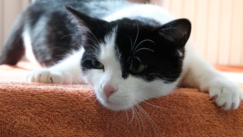 Nach einer sehr kurzen Verschnaufpause trudeln im Tierheim Neumarkt wieder nahezu täglich Fundtiere ein. Eines dieser Fundtiere ist die schwarz-weiße Katze mit dem weißen Gesicht, der weißen Brust und den weißen Beinen. Sie lief am 18. Februar in Deining-Arzthofen im nördlichen Teil des Lengenbacher Weges zu und nachdem sie sich mit dem Hund dort sehr gut verstand, hatte sie auch nicht mehr die Absicht, wieder zu gehen. Die Katze ist etwa sechs bis acht Monate alt und sie ist sehr neugierig und zutraulich. Wo wird diese Katze vermisst? Nachdem sie keinerlei Kennzeichnung hat, also weder eine Tätowierung noch einen implantierten Chip, kann sie ihren Besitzer derzeit nicht zugeordnet werden. Der Besitzer wird gebeten, sein unkastriertes Mädel wieder aus dem Tierheim abzuholen. Ein baldiger Termin beim Tierarzt wäre dann sinnvoll, denn die Katze ist momentan rollig, aber noch sehr zierlich. Ihr in diesem noch jugendlichen Alter eine Trächtigkeit zuzumuten, wäre nicht sehr verantwortungsvoll.  Um die Ausbreitung der Pandemie nicht zu fördern und um unsere Mitarbeiter und Besucher zu schützen, wurde das Tierheim Neumarkt komplett für Besucher, Gassigeher und Katzenstreichler geschlossen. Um den Tieren jedoch nicht die Chance auf ein neues Zuhause zu verbauen, finden Tiervermittlung und Beratung dennoch telefonisch beziehungsweise nach vorheriger Terminvereinbarung zwischen 14.30 und 17 Uhr unter Telefon (0 91 81) 2 28 62 statt. In Notfällen und im Falle von Fundtieren ist das Tierheim ebenfalls unter dieser Telefonnummer erreichbar.  Hier geht es zur Internet-Seite des Tierheims