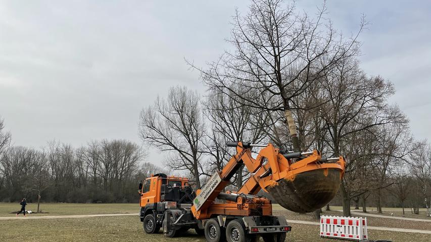 Neues Zuhause: Die großen neuen Bäume kommen bei den Spaziergängern im Volkspark Marienberg gut an.