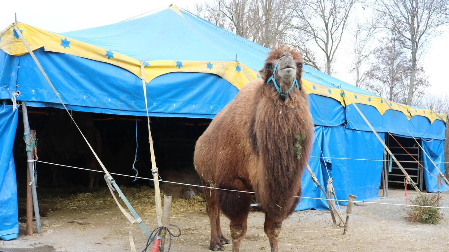 Kamel-Dame Katja erwartet derzeit Nachwuchs.