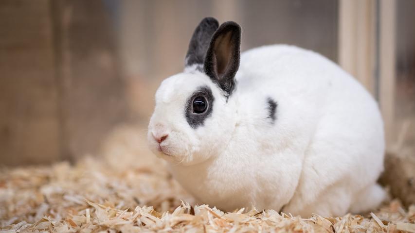 Friedrich ist rund eineinhalb Jahre alt. Das kastrierte Zwergkaninchen sucht – wie einige andere langohrige Gefährten im Tierheim – noch die Kaninchenfrau fürs Leben.  Mehr Informationen gibt es beim Tierheim Nürnberg, Stadenstraße 90, 90491 Nürnberg, Telefon (0911) 919890.