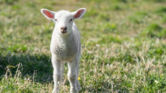 Polizisten stoppen entlaufende Schafe in Oberlindach