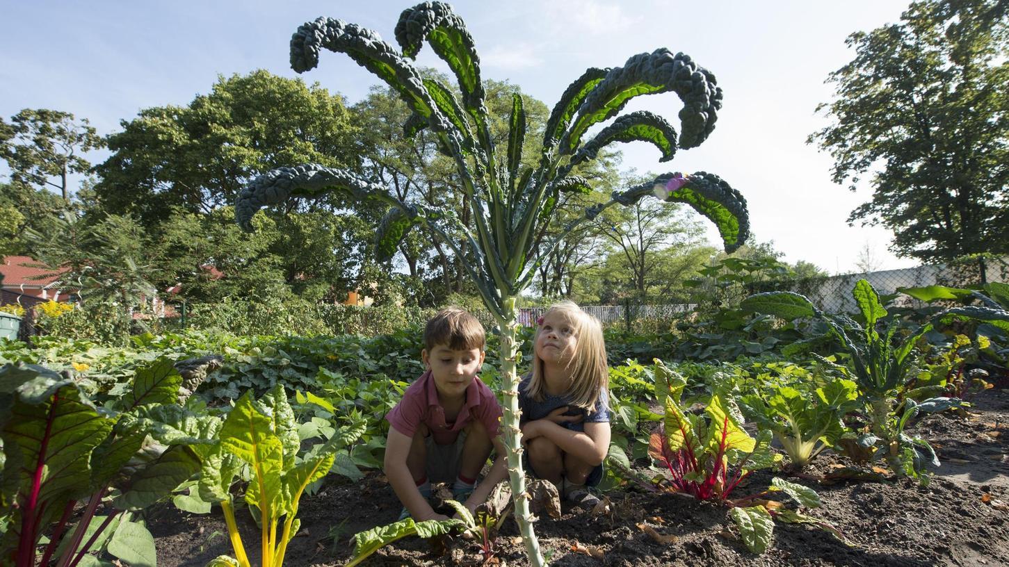 So oder so ähnlich soll es auf dem Acker der Kindertagesstätte Villa Regenbogen in Adelsdorf demnächst auch aussehen: Hier knien zwei Kita-Kinder in Potsdam vor einer großen Palmkohl-Pflanze.