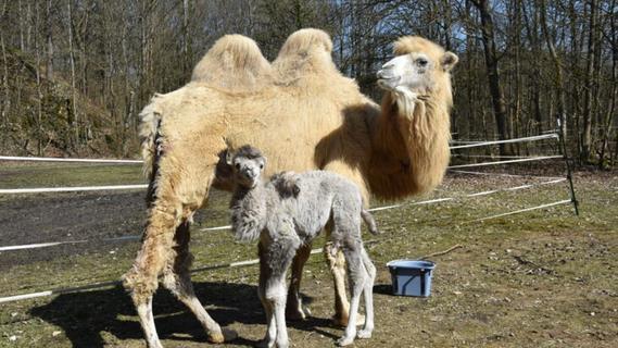 Geburt im Hagelschauer: Nachwuchs bei den Kamelen in Vorra