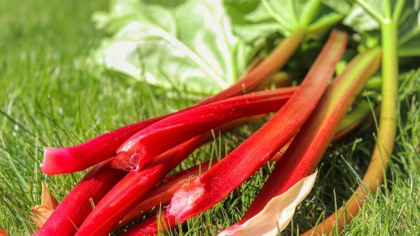 Das Knöterich-Gewächs stammt ursprünglich aus dem Himalaya. Der Rhabarber zählt zu Gemüse und wird seit Mitte des 18. Jahrhunderts bei uns in Europa angebaut. Je nach Wetterlage hat er meistens von April bis Mitte Juni Saison. Man sagt, dass Rhabarberstauden bis spätestens 24. Juni, dem Johannistag, geerntet werden sollen, damit sie genügend Regenerationszeit haben und so Kraft für eine ertragreiche Ernte im folgenden Jahr aufbringen können. Je älter die Pflanze ist, desto höher liegen ihre Oxalsäurewerte. Die Oxalsäure zeichnet für den fruchtig-sauren Geschmack verantwortlich, kann aber für säureempfindliche Menschen problematisch sein. Die Säurewerte kann man durch Schälen und Kochen verringern, Bananen und Milchprodukte gleichen sie ein wenig aus.