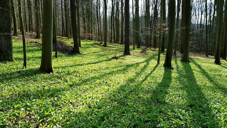 Bärlauch im Wald bei Kirchehrenbach: Das Landratsamt Forchheim mahnt die Pflücker zur Rücksichtnahme auf die Natur. Es dürfen ausschließlich