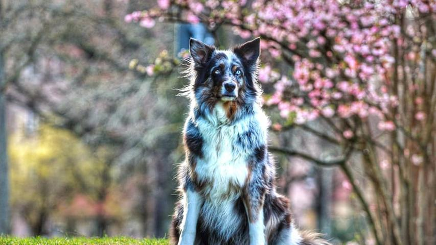 Mit den artktisblauen Augen ist Mystery ein wahres Fotomodel – gerade vor dem Kirschblütenhintergrund.
