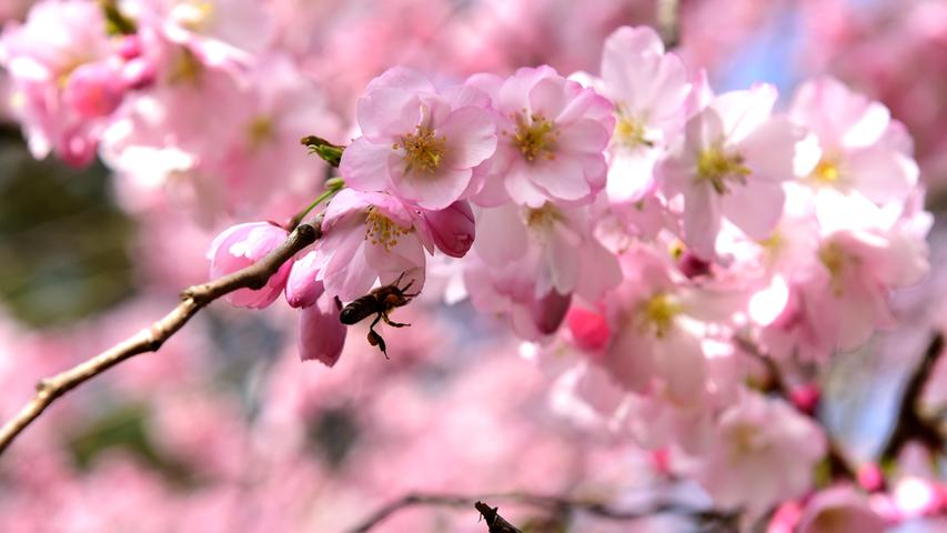 FOTO: Hans-Joachim Winckler DATUM: 01.04.21 MOTIV: Frühlingserwachen im Fürther Stadtpark - Entspannter Plausch vor dem Stadtparkcafé - Blüte - blühender Baum