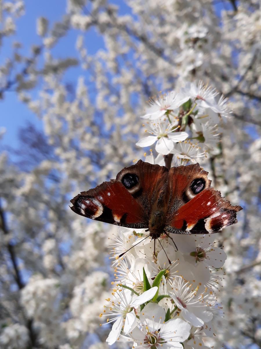 Pünktlich zu Ostern steht dieser Obstbaum in voller Blüte. Neben Unmengen an Bienen hat sich auch ein erster Schmetterling eingefunden, um sich am reich gedeckten Tisch zu laben. Das Nektar saugende Pfauenauge wirkt wie ein Schmetterling im Schnee.