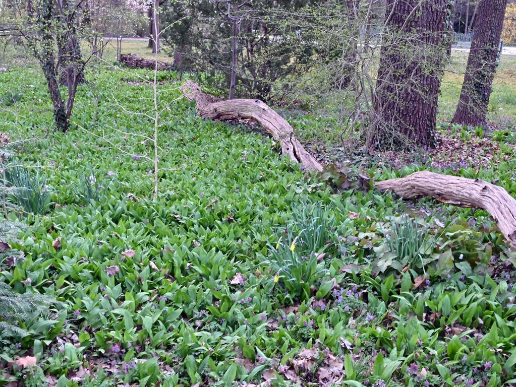 Bärlauch ist ein geschätztes Wildgemüse, das in Europa und Teilen Asiens vor allem in schattigen Wäldern wächst. Die  früh im Jahr austreibende Pflanzenart wird auch wilder Knoblauch oder Waldknoblauch genannt. Wer genau hinschaut, wird ihn sogar im Schlossgarten finden.   Foto: Klaus-Dieter Schreiter