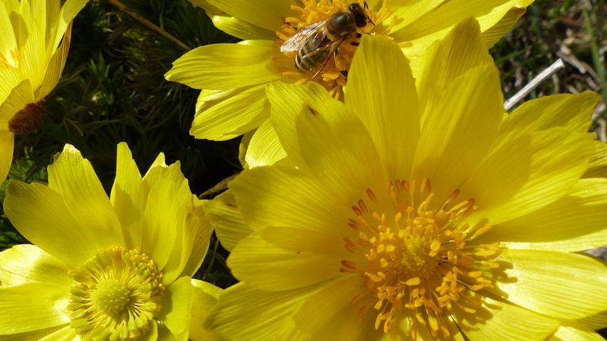 Da war noch kein Schnee: Eine Biene am Karfreitag auf einem Adonisröschen.