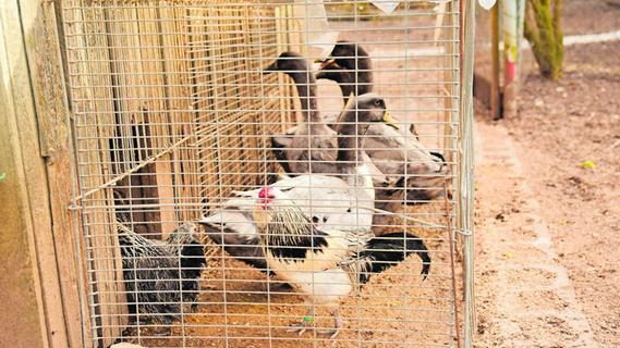 Geflügelpest: Wie die Stallpflicht den Tieren zusetzt
