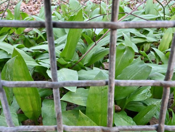 Wer genau hinschaut, findet Bärlauch sogar im derzeit geschlossenen Botanischen Garten in Erlangen.