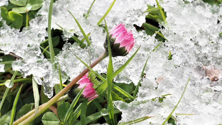 Auf einer Wiese in Großhaslach: Gänseblümchen und Grashalme bahnen sich den Weg durch die Schnee- und Eiskruste des spätwinterlichen Schneeintermezzos.