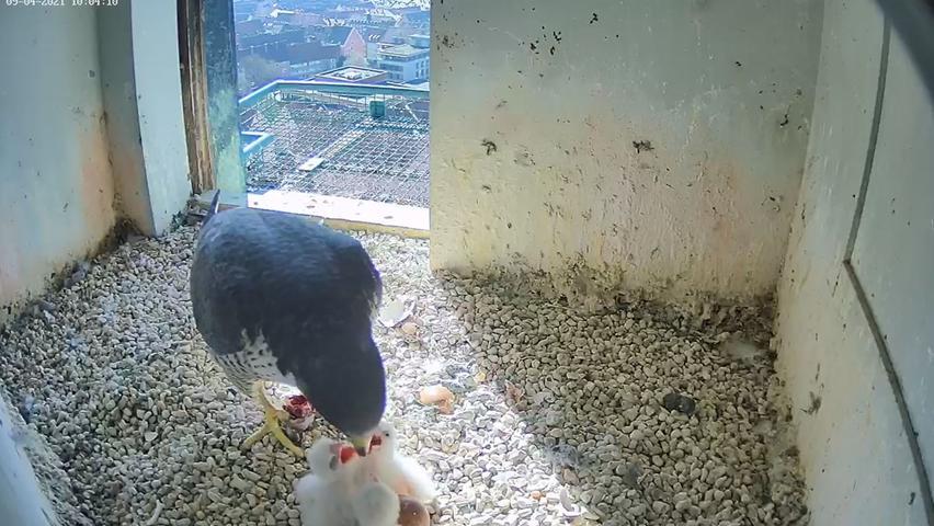Na endlich! Frühstück ist da! Wenn man sich durch ein Ei kämpfen musste, ist man eben hungrig.