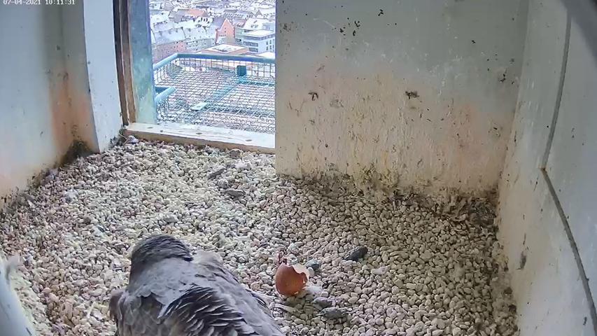 Häufiger Anblick - obwohl die Küken doch längst alle geschlüpft sind: Der Nachwuchs wird gehudert. Das heißt, dass die Küken von der Vogelmama vorsichtig unter die Fittiche genommen wird. So kräftig die kleinen Vögel nämlich noch piepsen, so empfindlich sind sie eben auch noch bei Kälte.