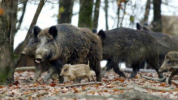 Nach Besucherstopp: Hardrock für Wildschweine im Wildpark