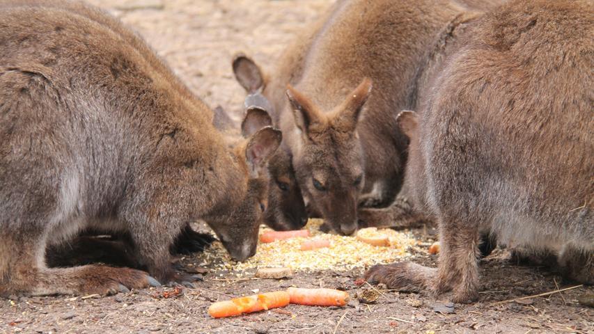 Hoppala! 23 Mini-Kängurus tollen im Garten herum