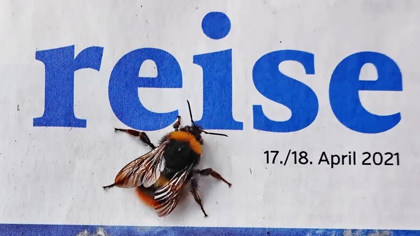 Als der Fotograf den Wochenendteil der NN studierte, ließ sich eine Hummel auf der Reiseseite nieder und suchte wahrscheinlich nach einem etwas wärmeren Ziel. Durch die niedrigen Temperaturen blieb sie jedoch fast erstarrt erstmal bewegungslos sitzen….und wartet immer noch auf steigende Temperaturen.