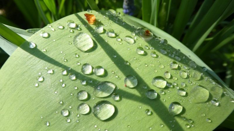 Nach dem Regenschauer halten sich die Regentropfen wie Perlen auf den Tulpenblättern.