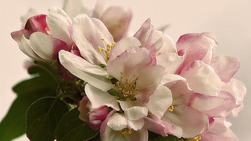 Ein Hauch von Rosa: Eine Apfelblüte in voller Pracht.