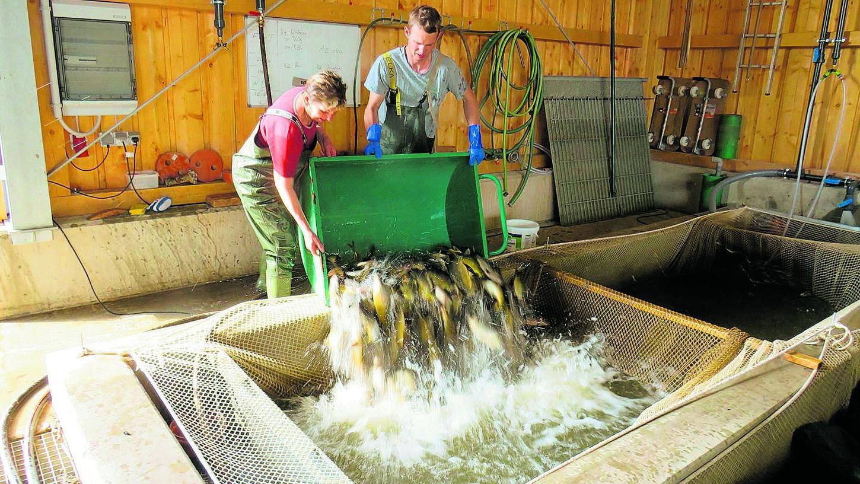 Mitarbeiter gießen zweijährige Karpfen in ein Hälterbecken.