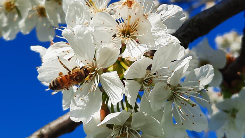 Kirschblüte in Kalchreuth: So schön ist der Frühling