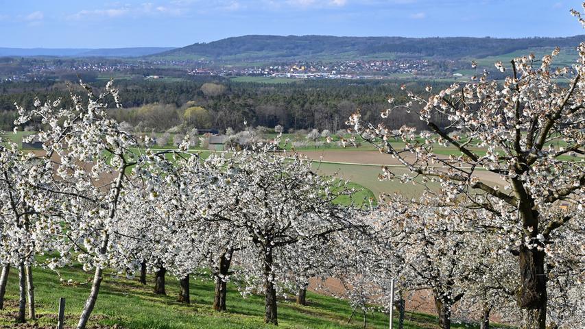 In den Kalchreuther Kirschgärten blüt es prächtig, die Bienen summen und holen sich den Nektar aus den Blüten, und die Menschen erfreuen sich an dem einmalig schönen Anblick. .Foto: Klaus-Dieter Schreiter