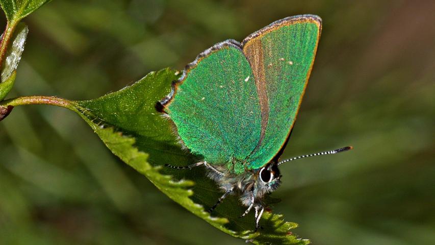 Gar nicht so leicht zu erkennen: Ein Grüner Zipfelfalter (Callophrys rubi) auf einem Birkenblatt. Er ist durch seine Färbung unverwechselbar und zählt zu den Bläulingen.