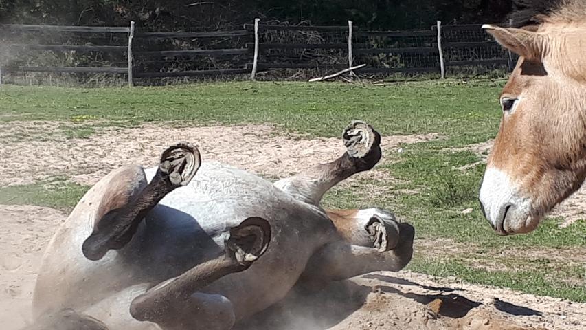 Was macht der denn da? Irgendwie scheint sich das Przewalski-Pferd im Tennenloher Forst über seinen staubbadenden Artgenossen zu wundern.