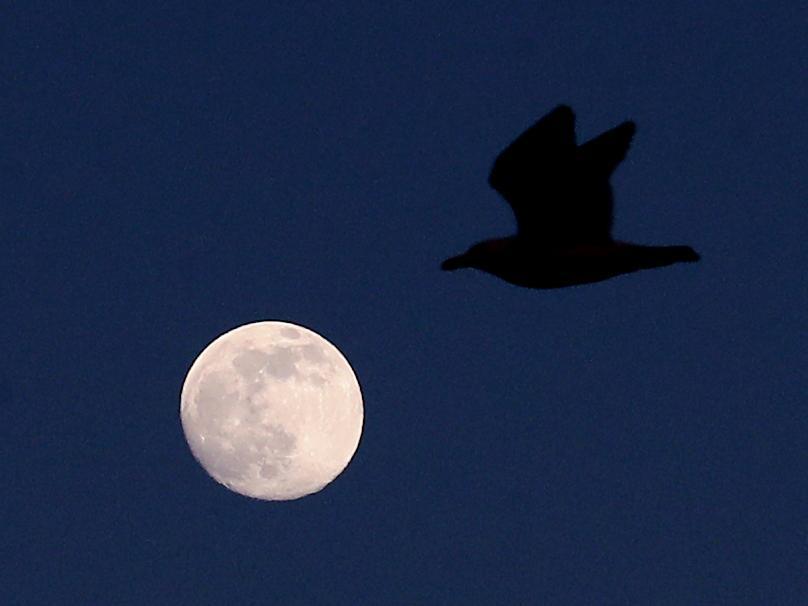 25.04.2021, Großbritannien, Ashford: Ein Vogel fliegt vor einem Mond, der am Himmel über Ashford in Kent zu sehen ist. Am nächsten Tag erreicht der Mond seine volle Größe und wird zum sogenannten Supermond. Foto: Gareth Fuller/PA Wire/dpa +++ dpa-Bildfunk +++