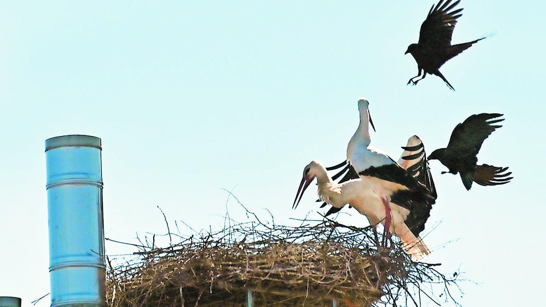 Zwei Raben greifen immer wieder das Storchenpaar auf der Heka an.