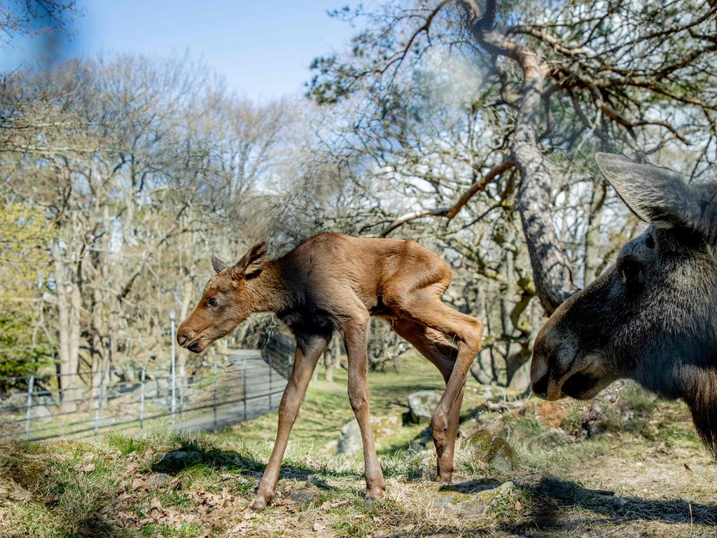 Henrietta the elk and one of her newborn calves are pictured at Slottsskogen Zoo in Gothenburg, Sweden, on April 27, 2021. - Henrietta gave birth to two calves on April 23, 2021. (Photo by Adam IHSE / TT NEWS AGENCY / AFP) / Sweden OUT