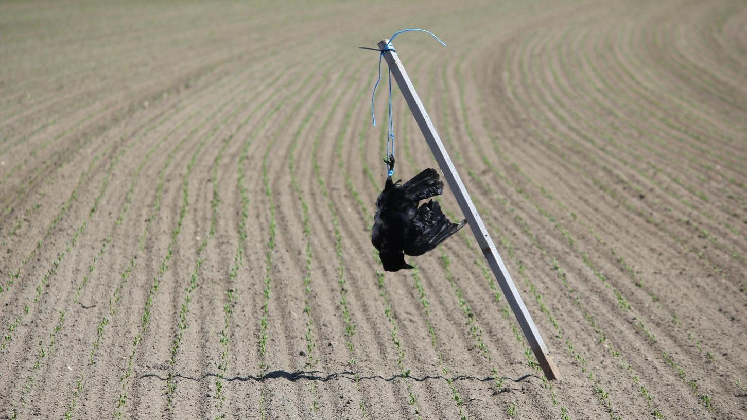 Kopfüber aufgehängt: Ein Landwirt hat diesen Kadaver strategisch auf seinem Feld bei Kairlindach platziert.