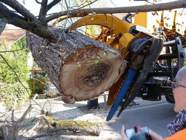 Die Schädigungen im inneren der Bäume wurden deutlich sichtbar.