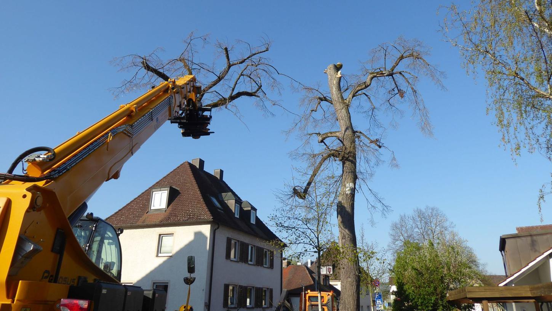 Eine Linde und ein Ahorn, beide unter Naturschutz stehend, mussten nun am Lindenanger in Forchheim gefällt werden.