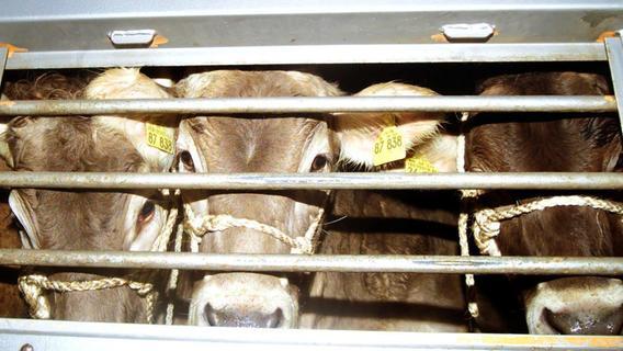 Streit geht weiter: Oberfränkische Rinder Thema im Landtag Niedersachsen
