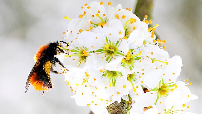 Der Frühling ist endlich da - und hat die Hummeln mitgebracht.