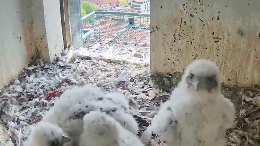 Die Küken haben wohl die Kamera entdeckt - zumindest schaut das Vogeljunge so. Übrigens: Beim Falkennachwuchs handelt es sich um zwei männliche und zwei weibliche Tiere.