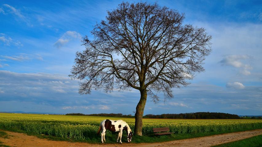 Man hätte es nicht besser platzieren können: Das Pferd in Untermichelbach hat sich selbst perfekt unter dem Baum und vor dem Rapsfeld für das Foto in Szene gesetzt.