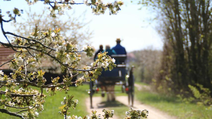 Dieser Ausflug wäre im Auto nur halb so schön: Eine Kutschfahrt in der beginnenden Kirschblüte in Großweingarten bei Spalt, im Landkreis Roth.