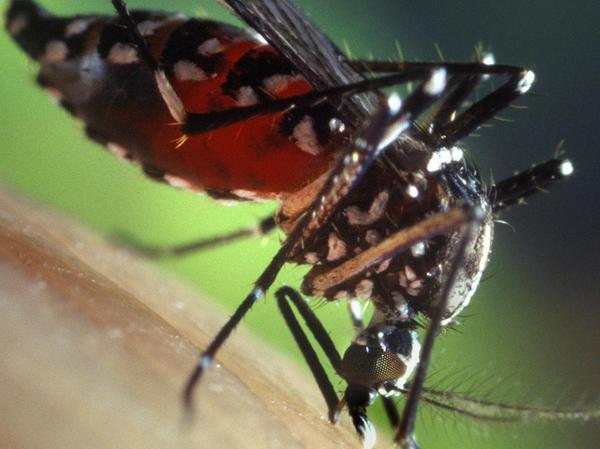 Die Asiatische Tigermücke kann gefährliche Krankheiten übertragen.