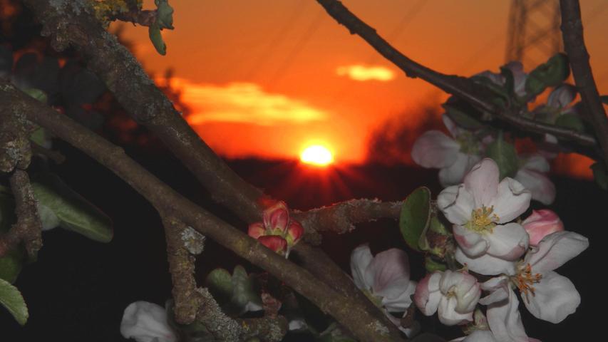 Durch die untergehende Sonne kommen die Apfelblüten im Nachbarsgarten besonders reizvoll zur Geltung.