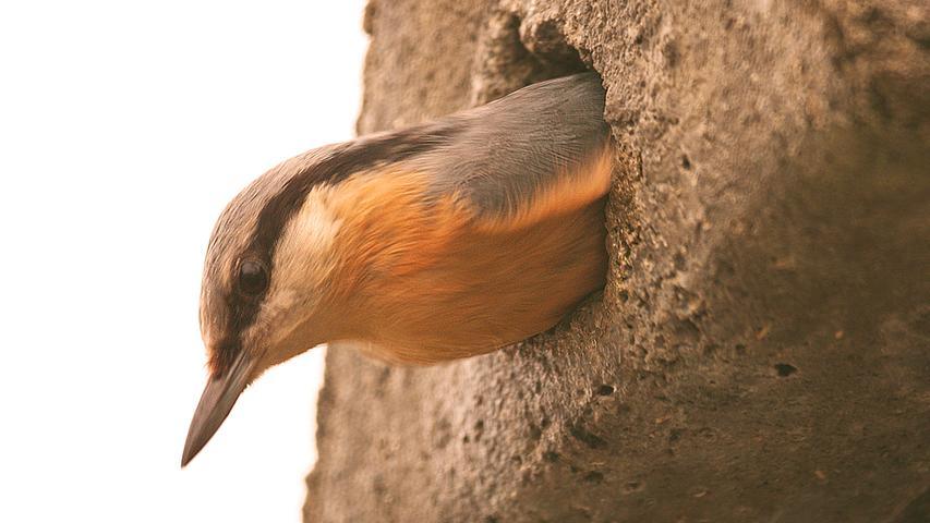 Behält den Überblick: Ein Kleiber beim Rundumblick aus seinem Nest. Gesehen am Staufer Weiher bei Neumarkt.