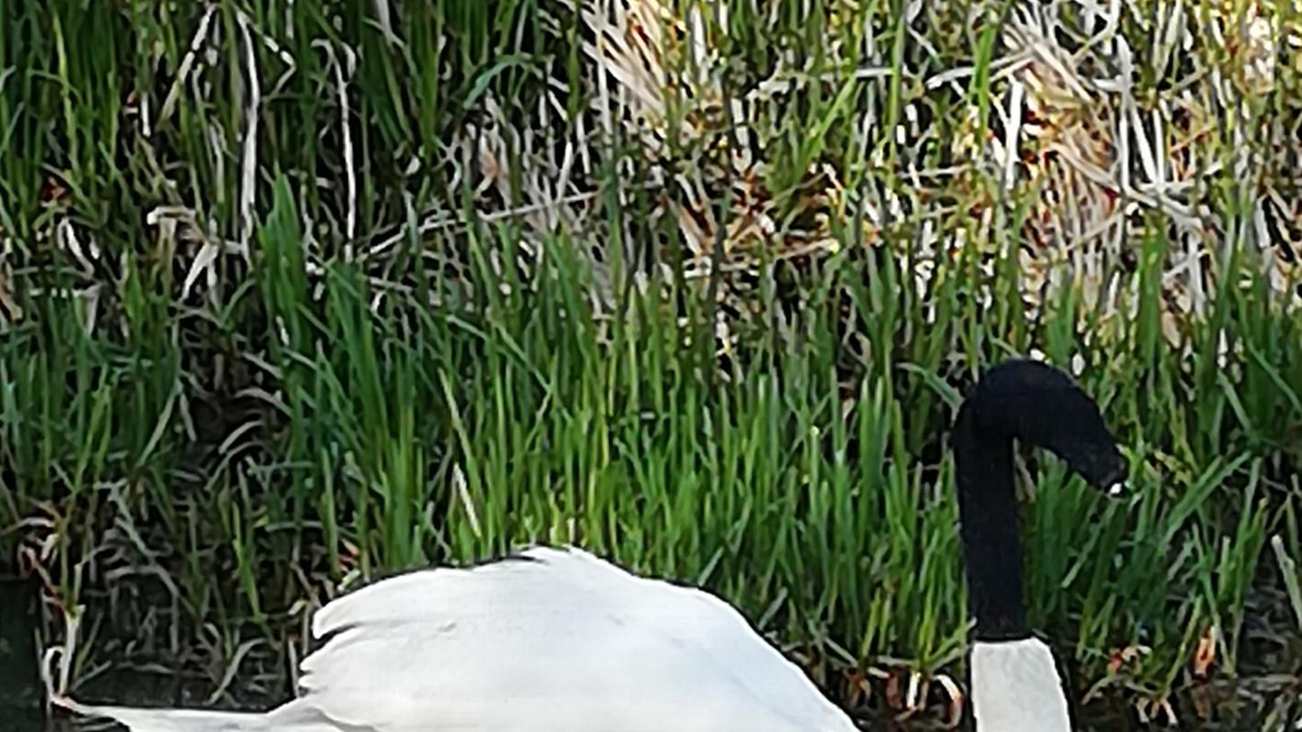 In der englischen Stadt Lincoln habenUnbekannte einem Schwan eine schwarze Socke über den Kopf gezogen. Dies hätte zum Tod des Tieres führen können.