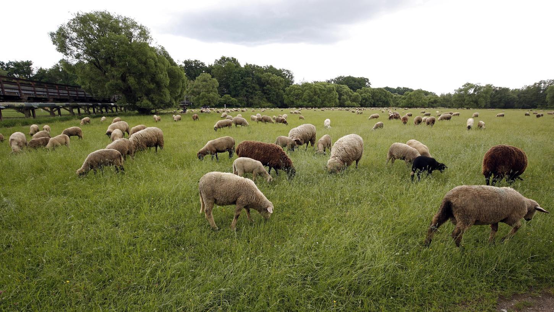 im Pegnitztal-Ost fühlen sich nicht nur Schafe wohl, sondern auch viele seltene Arten. Deswegen wurde es zum Naturschutzgebiet erhoben.