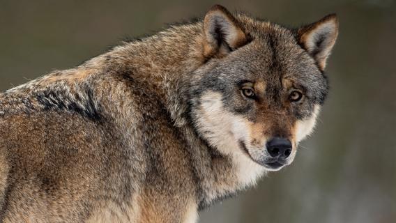 Gentest beweist: Wolf tötet vier Schafe bei Hohenfels
